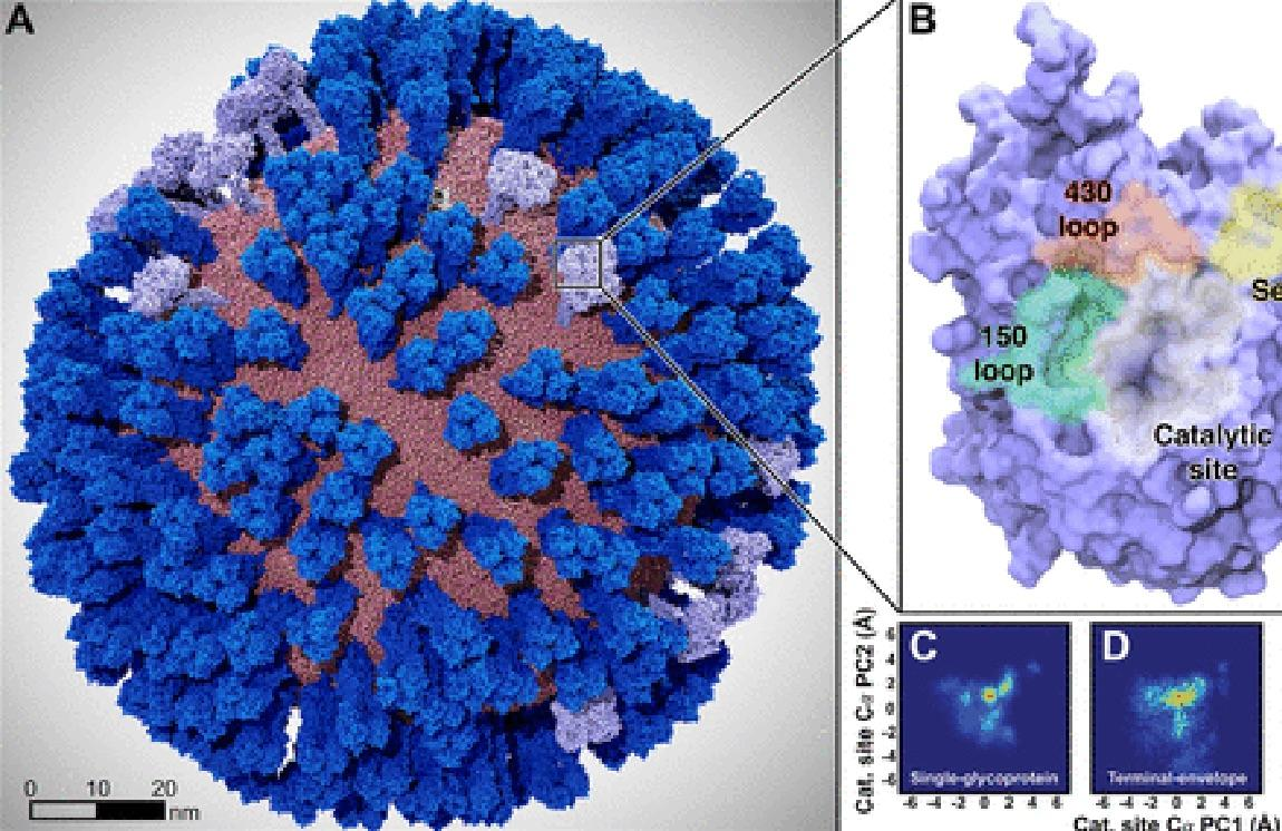 Mesoscale simulations enhance conformational sampling of the viral glycoproteins.