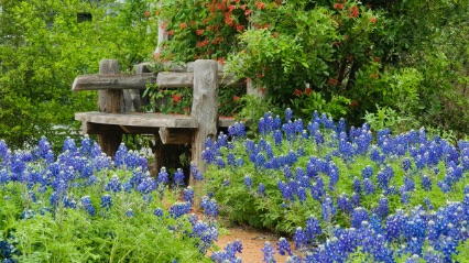 Bluebonnets at the Lady Bird Wildflower Center
